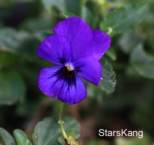 香堇菜紫花